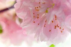 pink flowering ornamental almond tree stock photo image 92055399
