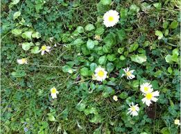 weed identification british garden weed information u0026 lawn weeds