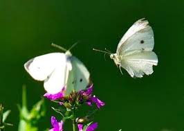 what do white butterflies typically eat quora