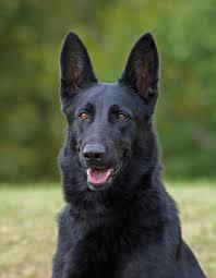 belgian sheepdog wolf mix our wolf husky puppy aww