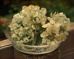 dried hydrangeas free images nature blossom leaf flower bloom green botany