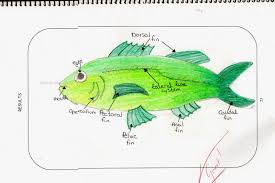 science magazine studying the anatomy of a fish and drawing a
