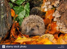 photo collection hedgehog fall leaves