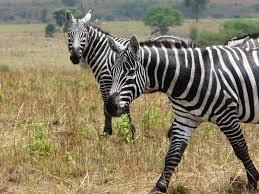 maneless zebra wikipedia
