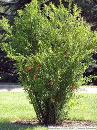 hgic 1359 pomegranate extension clemson south