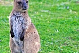 australia wildlife sanctuary kangaroo island real gap experience