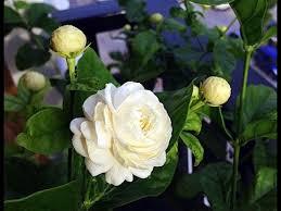 Jasmine Flowers Beautiful And Fragrant Jasmine Flowers Pictures Youtube