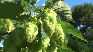 chop u0026 brew episode 11 growing hops at home part 2 youtube