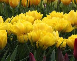 Monte Carle Tulip Monte Carlo Bulbs Buy Online At Farmer Gracy Uk