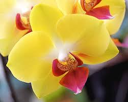yellow orchid yellow phalaenopsis orchids photograph by rona black yellow