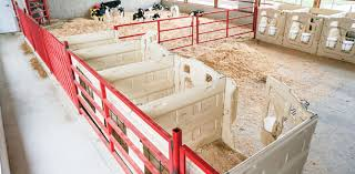 Calf Raising Barns Calf Housing Automatic Group Feeders Vs Individual Pens