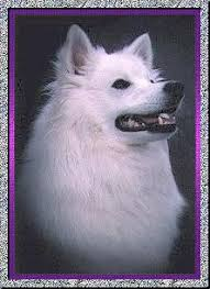 american eskimo dog michigan angelheart eskies american eskimo dogs mercy u0027s page