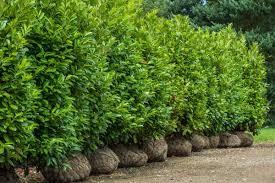 Laurel Topiary - hedging plants mature trees wykeham mature plants