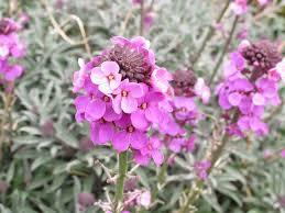 wall flowers how to grow wallflowers saga