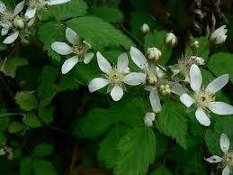 washington state native plants rubus ursinus wikipedia