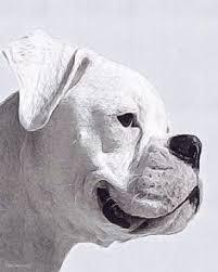 boxer dog art white boxer