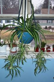 Bedroom Plants Spider Plant Bedroom Plant Relaxing Indoor Plant Air Purifier
