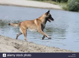 belgian sheepdog malinois dog belgian shepherd malinois running in a lake stock photo