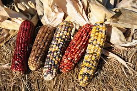 ornamental corn seed ornamental corn seed fresh seed free