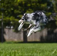 is an australian shepherd smart 2 answers should you own a border collie or an australian