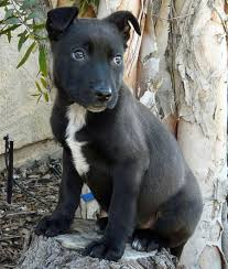 belgian sheepdog wolf mix view topic my character forms chicken smoothie