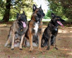 belgian shepherd x rottweiler co habitating with a herding dog thedogtrainingsecret com