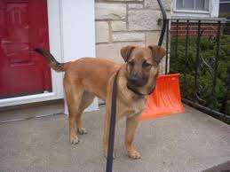 belgian shepherd rescue dogs could my rescue pup be part belgian malinois