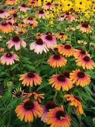 top new perennials for 2016 perennials plants and gardens