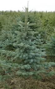 remarkable 9 blue spruce tree image ideas 9