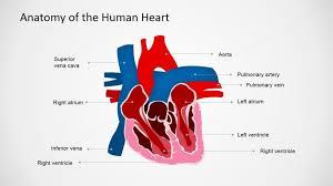 heart design for powerpoint anatomy of human heart powerpoint presentation slidemodel
