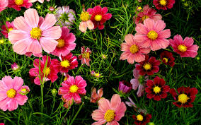 pink cosmos flowers wallpapers hd wallpapers