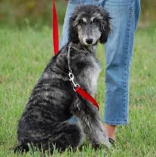 afghan hound harga 13 best i really want this images on pinterest beach wreaths