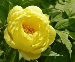 yellow peonies yellow flower power bmore energy
