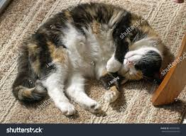 Cats Paw Rug Beautiful Old Calico Cat Comfortably Curled Stock Photo 405355450