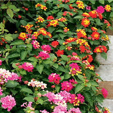 Lowes Moreno Valley by Shop 2 5 Quart Lantana L6708 At Lowes Com