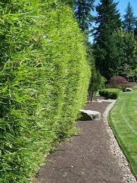 fargesia robusta hedge