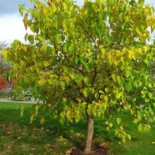 Patio Fruit Trees Uk by Mulberry Nigra Buy Mulberry Tree Purchase Mulberry Fruit Trees
