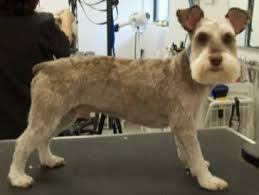 schnauzer hair styles mod dog boca grooming pictures