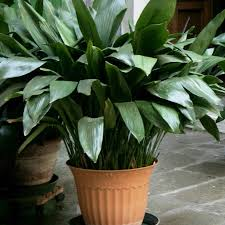 8 Houseplants That Can Survive by Houseplants That Don U0027t Need Much Water Hard To Kill Houseplants