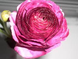 Ranunculus Flower How To Care For Ranunculus Flowers Flower Pressflower Press