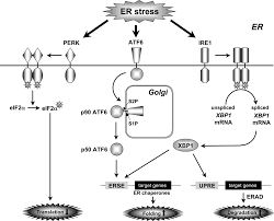 endoplasmic reticulum stress and unfolded protein response in