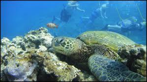a guide to snorkeling with sea turtles in maui u2014 maui lanai the