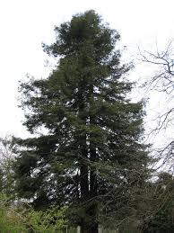 a verdant the worst tree