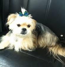 pictures of shorkie dogs with long hair shorkie tzu dog breed information and pictures