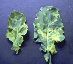 Symptoms Of Viral Diseases In Plants - canola viruses