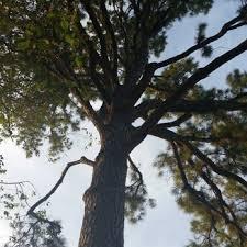 loard phillips tree service removal tree services dawson