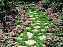Backyard Ground Cover Options Creeping Thyme Ground Cover 1000 Seeds Fragrant Herb Pink