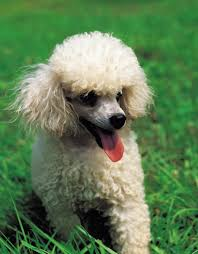 poodles long hair in winter grooming tips for adult toy poodles pets