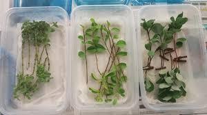native hawaiian plants list hawaiian plant propagation spring 2017 laci m gerhart barley