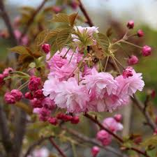 prunus pink perfection flowering cherry tree mail order trees